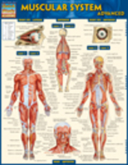 Muscular System Advanced 0 9781423217862 1423217861